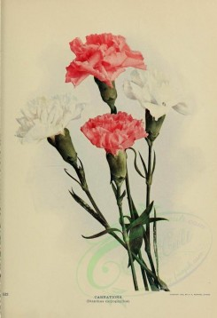 carnation-00010 - CARNATIONS - dianthus caryophyllus [3064x4479]