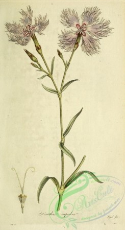 carnation-00090 - dianthus superbus [1990x3645]
