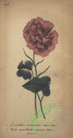 carnation-00116 - Sand Pink, dianthus arcnarius, Hooded Violet, viola cucullata [1810x3394]