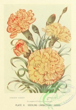 carnation-00130 - Golden Eagle Yellow Variegate Carnation, Novelty Yellow Variegate Carnation [1254x1795]
