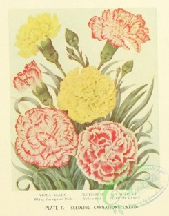 carnation-00131 - White variegated Pink, Yellow Self Carnation, Flaked Fancy Carnation [1365x1743]