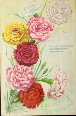 carnation-00134 - 005-Carnations [2278x3443]