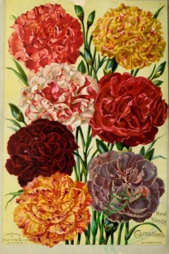 carnation-00171 - 007-Carnations [2246x3358]