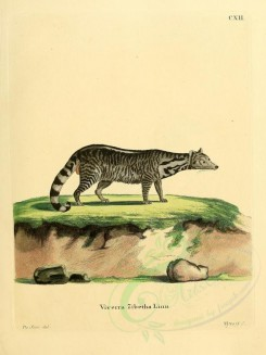carnivores_mammals-00053 - Large Indian Civet [2304x3074]