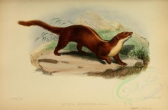 carnivores_mammals-00090 - Back-striped weasel [3406x2238]