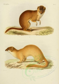 carnivores_mammals-00103 - Siberian weasel (fontainerii), Mountain weasel [2479x3486]