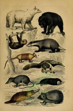 carnivores_mammals-00109 - Brown bear, Polar bear, European badger, European hedgehog, Eurasian Water Shrew, European mole, Pale-throated sloth, Great anteater, Six-banded armadillo, Platypus [2102x3198]