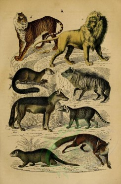 carnivores_mammals-00110 - Fox, Grey wolf, Striped hyena, Lion, Tiger, Large Indian civet, Pine Marten, Otter [2102x3198]