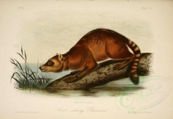 carnivores_mammals-00112 - Crab-eating Raccoon [2879x1990]