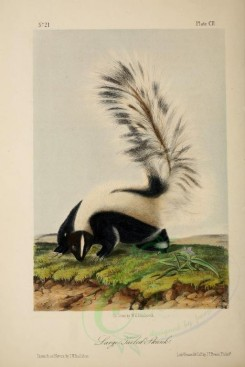 carnivores_mammals-00114 - Large Tailed Skunk [1925x2878]