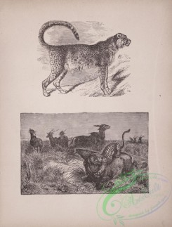 cassells_natural_history-00020 - 021-Leopard