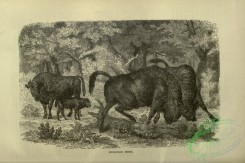 cassells_natural_history-00067 - 024-European bison
