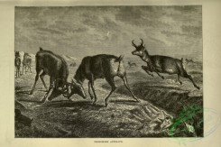 cassells_natural_history-00071 - 028-Pronghorn Antelope
