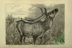 cassells_natural_history-00084 - 041-Axis Deer