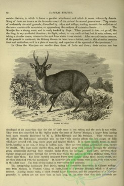 cassells_natural_history-00086 - 043-Indian Muntjac