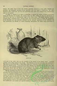 cassells_natural_history-00116 - 074-Brown Rat