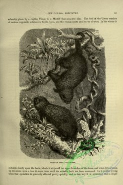 cassells_natural_history-00133 - 091-Mexican Tree Porcupine