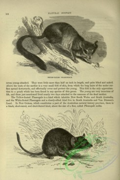 cassells_natural_history-00169 - 129-Brush-tailed Phascogale
