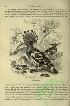 cassells_natural_history-00223 - 183-Common Hoopoe