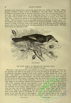 cassells_natural_history-00253 - 016-Pied Grallina