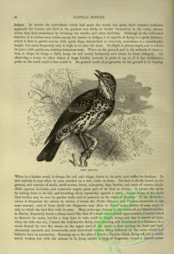 cassells_natural_history-00256 - 019-Song Thrush