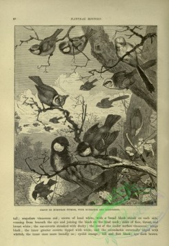 cassells_natural_history-00265 - 028-European Titmice, Nuthatch, Goldcrests