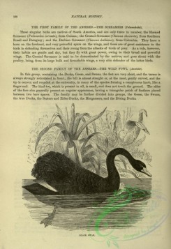 cassells_natural_history-00334 - 097-Black Swan