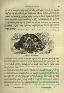 cassells_natural_history-00355 - 120-Common or Greek Tortoise