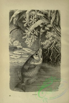 cassells_natural_history-00445 - 026-Toxotes