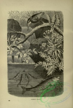 cassells_natural_history-00466 - 047-Common Trout