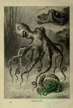 cassells_natural_history-00478 - 059-Common Octopus