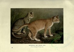 cats-00033 - ABYSSINIAN AND INDIAN CATS [3144x2188]