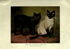 cats-00035 - BLACK MANX AND ROYAL SIAMESE CATS [3144x2188]