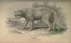 cats-00048 - Snow-Leopard or Ounce [3662x2226]