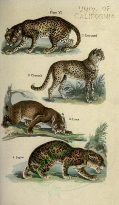 cats-00052 - Leopard, Cheetah, Lynx, Jaguar [2396x4106]