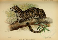cats-00111 - Clouded leopard [3344x2315]