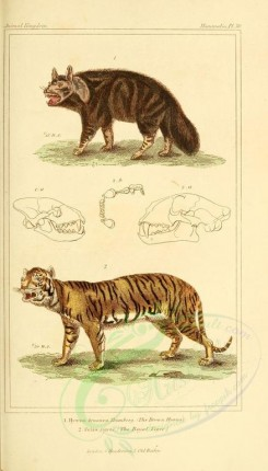 cats-00119 - Brown Hyena, Royal Tiger [1826x3199]
