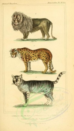 cats-00120 - Lion, Leopard, Domestic Cat [1826x3199]