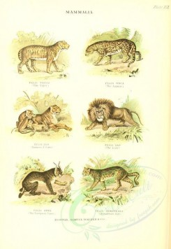 cats-00125 - Tiger, Jaguar, Lion, European Lynx, Sumatra Cat [2035x2954]