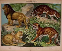 cats-00138 - Lion, Lioness, Tiger, Jaguar [3084x2540]