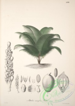 central_american_plants-00014 - attalea nucifera