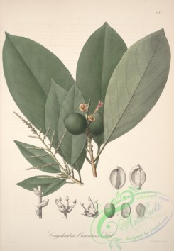 central_american_plants-00020 - caryodendron orinocensis