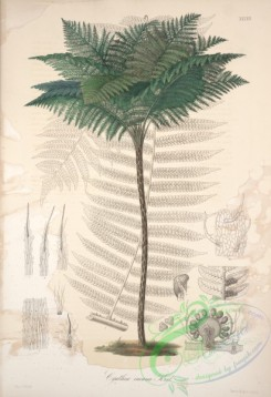 central_american_plants-00046 - cyathea incana