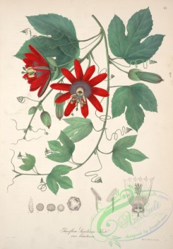 central_american_plants-00074 - passiflora servitensis bracteosa