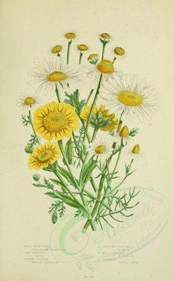 chamomile-00004 - 056-GREAT WHITE OX-EYE, CORN MARIGOLD, COMMON FEVERFEW, SCENTLESS MAYWEED, WILD CHAMOMILE, COMMON CHAMOMILE [2224x3587]