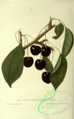 cherry-00335 - EARLY PURPLE GUIGNE CHERRY