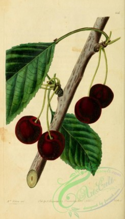 cherry-00344 - 115-Waterloo Cherry