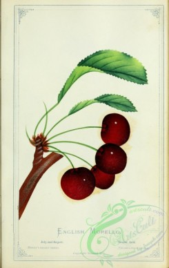 cherry-00368 - Cherry - English Morello