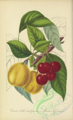 cherry-00395 - Cherry, prune jefferson