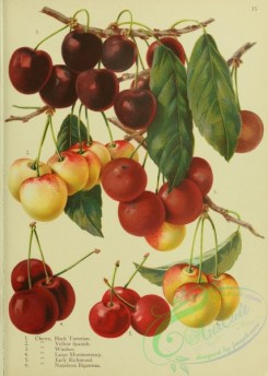 cherry-00449 - Black Tartarian Cherry, Yellow Spanish Cherry, Windsor Cherry, Large Montmorency Cherry, Early Richmond Cherry, Napoleon Bigarreau Cherry